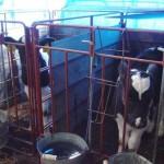 牛たちの様子02