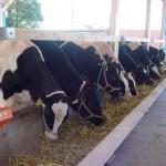 北海道よりの導入牛25頭の様子03