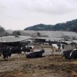 御池牧場内の牛たちの様子01
