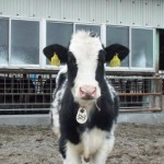 御池牧場内の牛たちの様子02