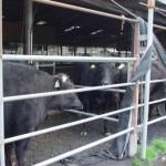御池牧場内の牛たちの様子03