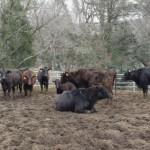 御池牧場内の牛たちの様子04