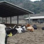 御池牧場内の牛たちの様子05