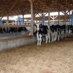 札立原牧場の牛たちの様子02