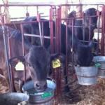 ハッチによる個体別管理の様子(肉用牛保育)