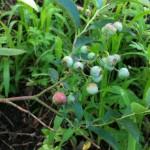 ブルーベリー苗木4
