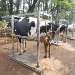 牛を枠場に固定