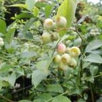 ブルーベリー苗木2
