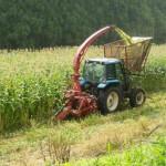 トウモロコシ刈り取りの様子1