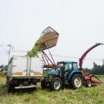 トウモロコシ刈り取りの様子2