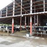 公社牛導入後の牛舎の様子01