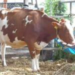 分娩間近の牛01